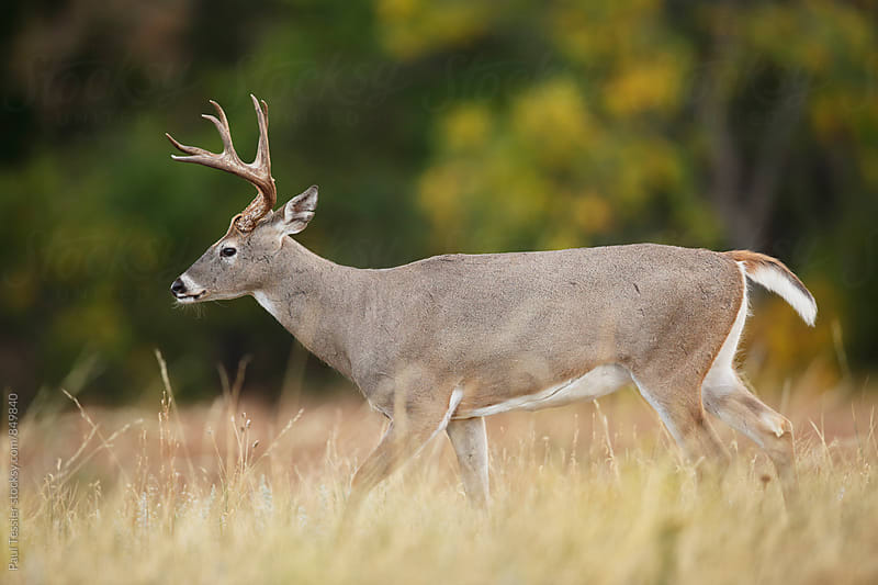White-tailed Deer by Paul Tessier for Stocksy United