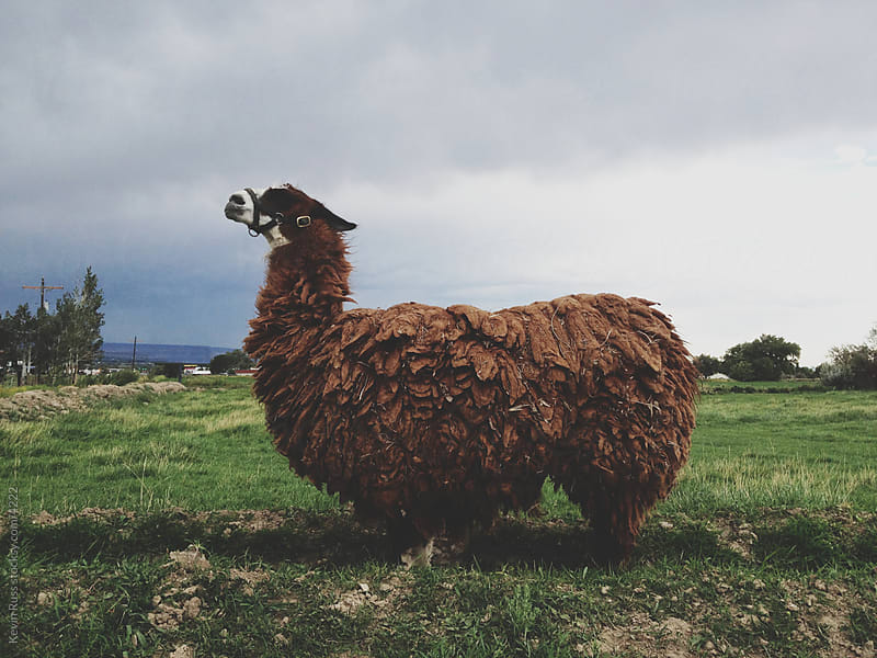Posing Llama by Kevin Russ for Stocksy United