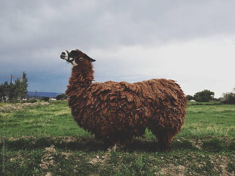 Posing Llama by Kevin Russ for Stocksy United