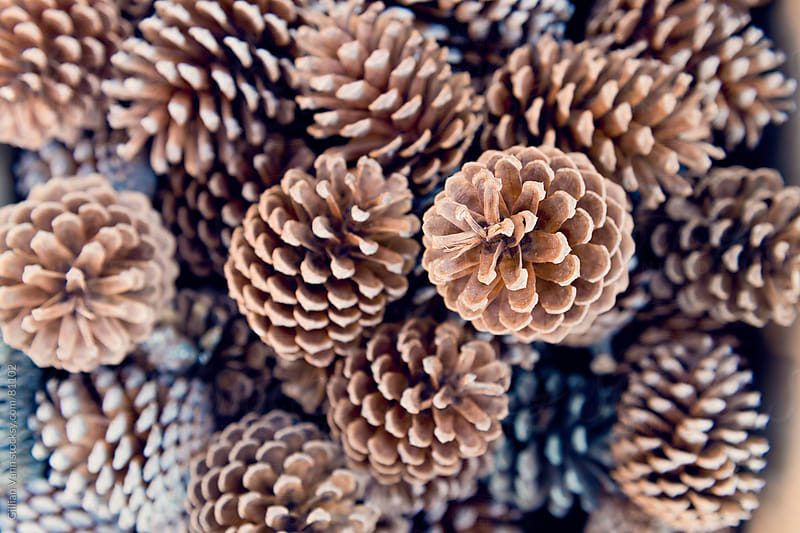 pine cones by Gillian Vann for Stocksy United