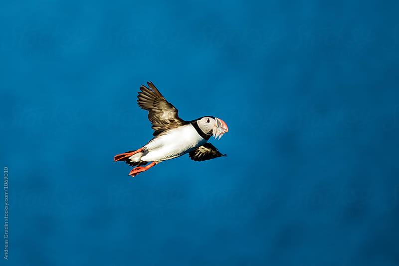 puffin bird by Andreas Gradin for Stocksy United