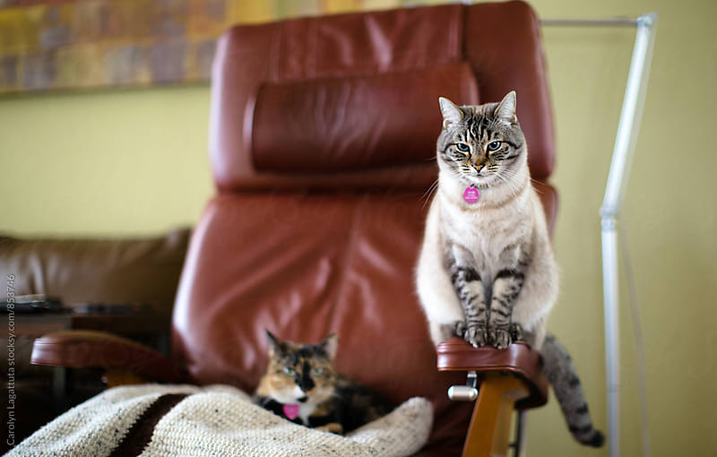 Annoyed Siamese cat - her Calico sibling is in her spot by Carolyn Lagattuta for Stocksy United