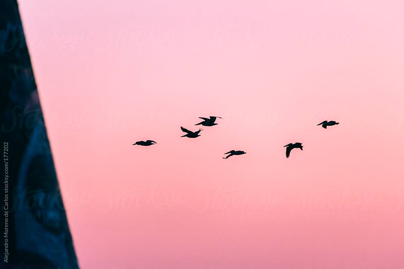 Pelicans flying at sunset on pink sky by Alejandro Moreno de Carlos for Stocksy United