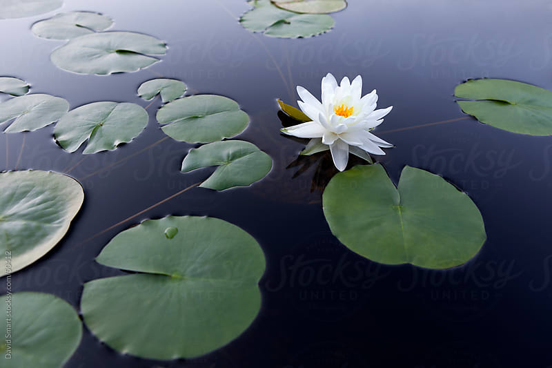 Tranquil scene with a white water lily floating on smooth water by David Smart for Stocksy United