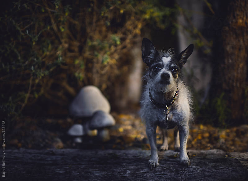 Small black and white terrier dog in a moonlit yard with mushrooms by Rachel Bellinsky for Stocksy United
