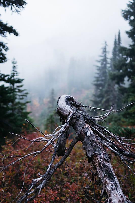 branch reaching into fog high mountain northwest washington mt rainier by Jesse Morrow for Stocksy United