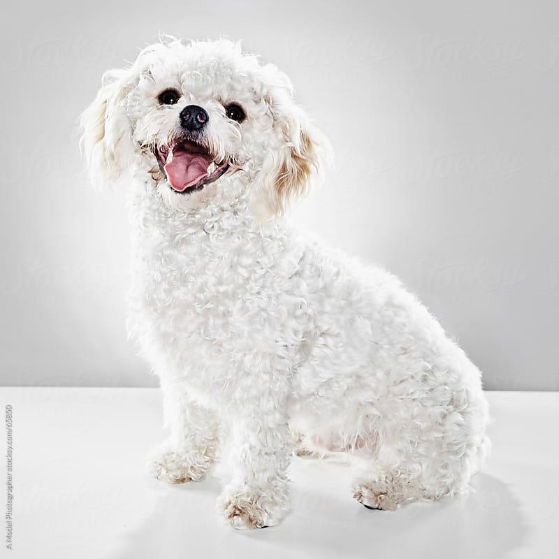 A studio portrait of a white dog by Ania Boniecka for Stocksy United