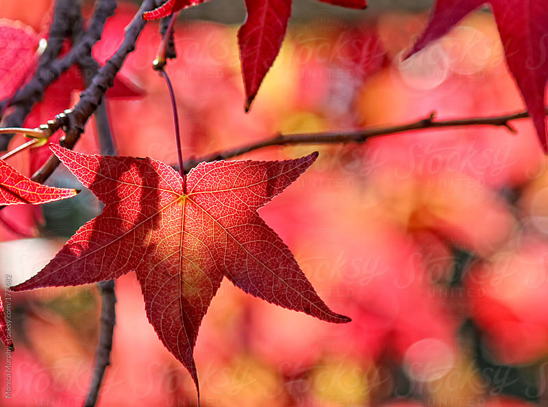 Bright red fall leaf hangs on a branch by Monica Murphy for Stocksy United