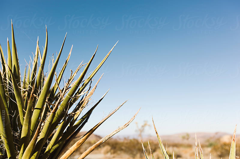 The tips of a Yucca Plant in the desert. by Holly Clark for Stocksy United