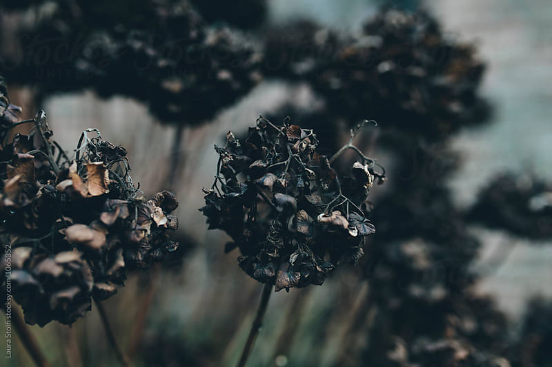 Bunch of black rotten hydrangea flowers in wintry garden by Laura Stolfi for Stocksy United