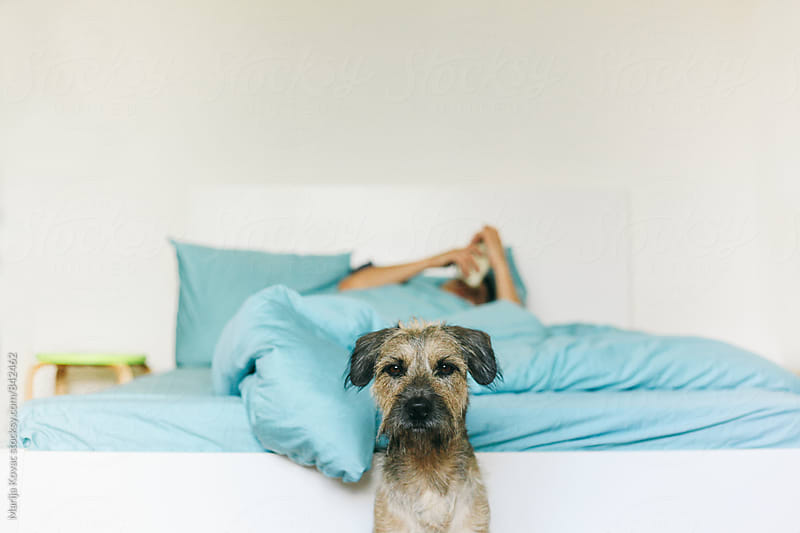 Dog next to the bed, man in a background lying in a bed and browsing on his smart phone by Marija Kovac for Stocksy United