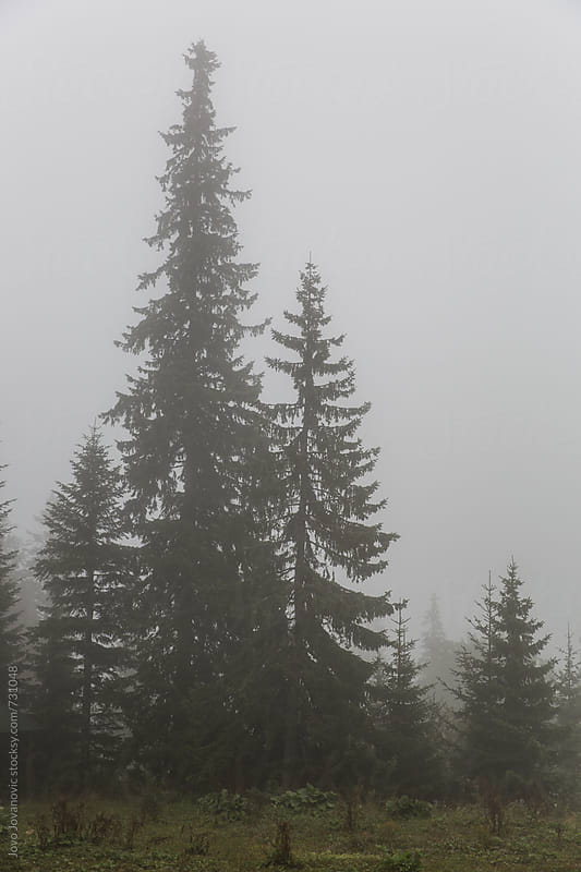 Spooky conifer trees in the mountain by Jovo Jovanovic for Stocksy United
