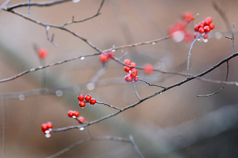 Small red berries on twigs by Matthew Spaulding for Stocksy United