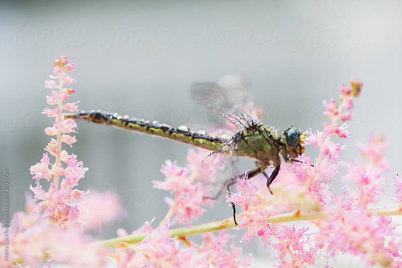 Dragonfly on Pink Astilbe Flowers by Marta Locklear for Stocksy United