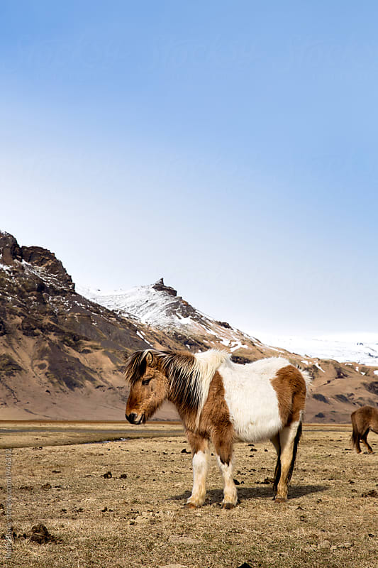 Icelandic horse by Ruth Black for Stocksy United