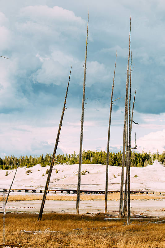 Pointy Dead Pine Trees In Norris Geyser Basin Under A Brooding Sky by Luke Mattson for Stocksy United