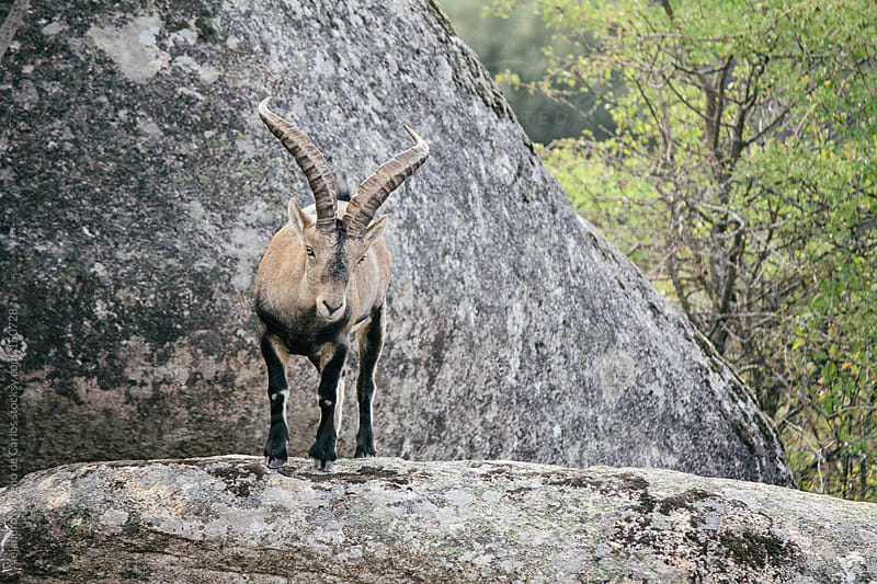 Spanish wild goat (capra pyrenaica) in Pedriza mountains, Madrid by Alejandro Moreno de Carlos for Stocksy United