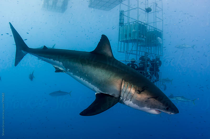 Big Great White Shark and Shark Cage by Shane Gross for Stocksy United