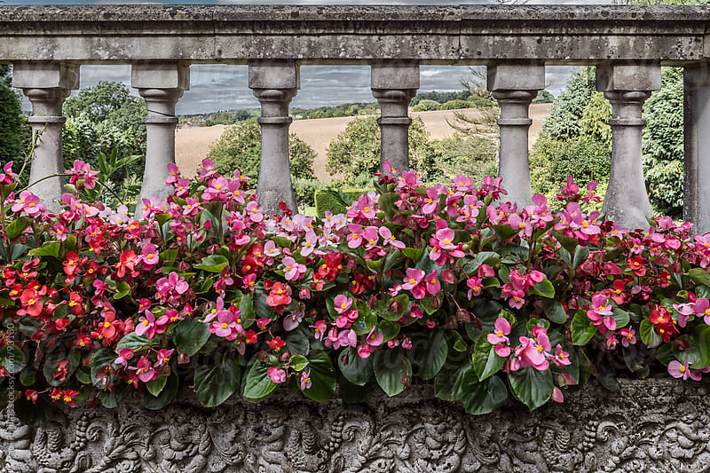 Potted Begonia plants in a landscaped setting behind a balustrade by Paul Phillips for Stocksy United