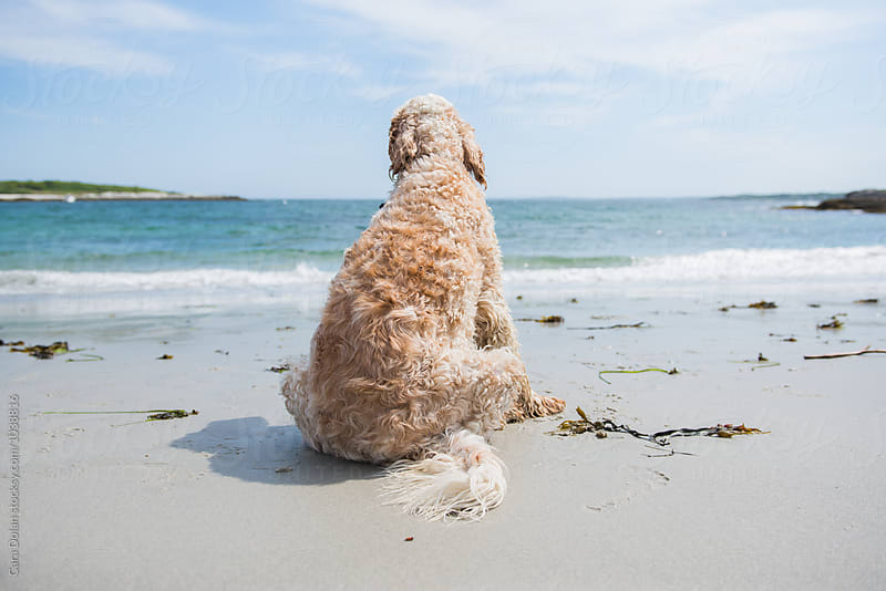 Dog with a view - English setter sits on a beach by Cara Dolan for Stocksy United
