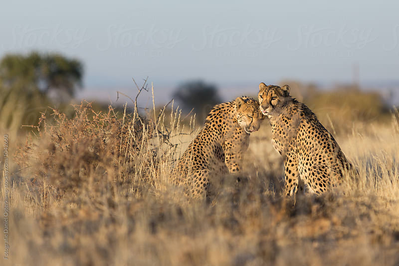 Cheetah (Acinonyx jubatus) cleaning each other after a meal by Fotografie Daniel Osterkamp for Stocksy United