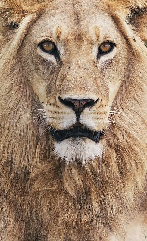 Wild Lion portrait by Urs Siedentop & Co for Stocksy United