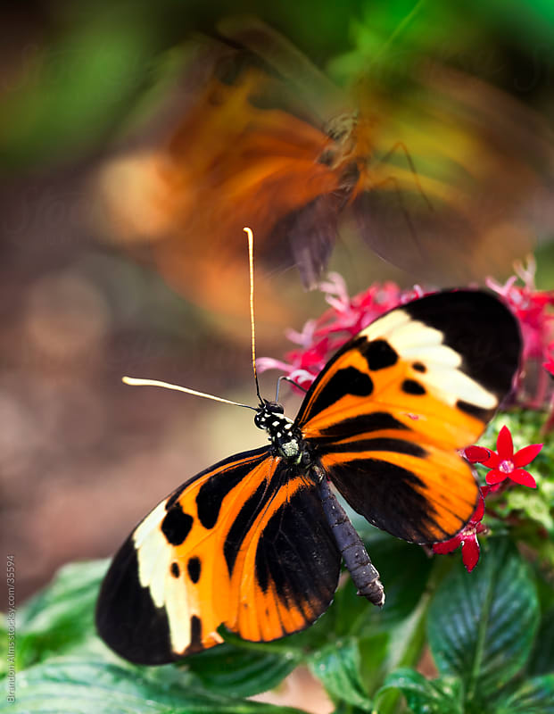 Numata Longwing Butterfly on Flowers as Another Lands with Motio by Brandon Alms for Stocksy United