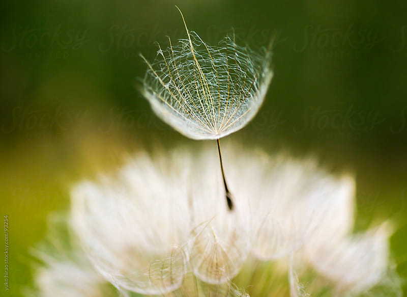 Dandelion seed, flying away by yuko hirao for Stocksy United