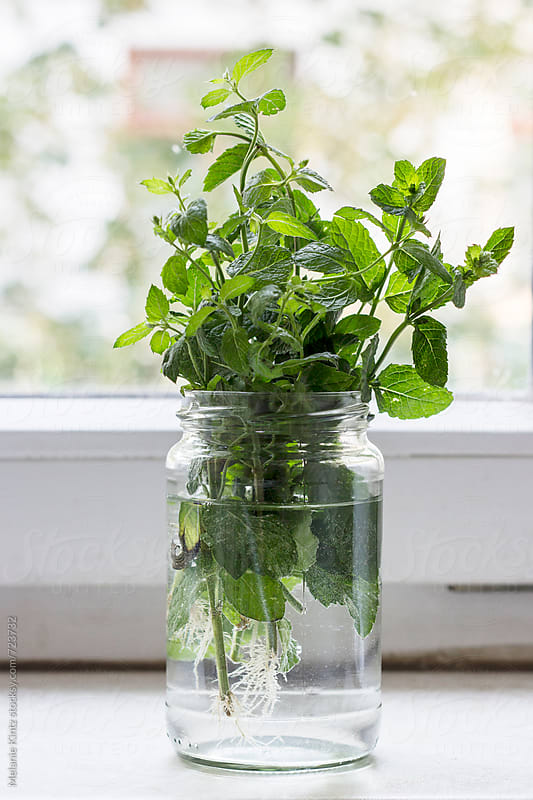 Bunch of mint in a glass on windowsill by Melanie Kintz for Stocksy United