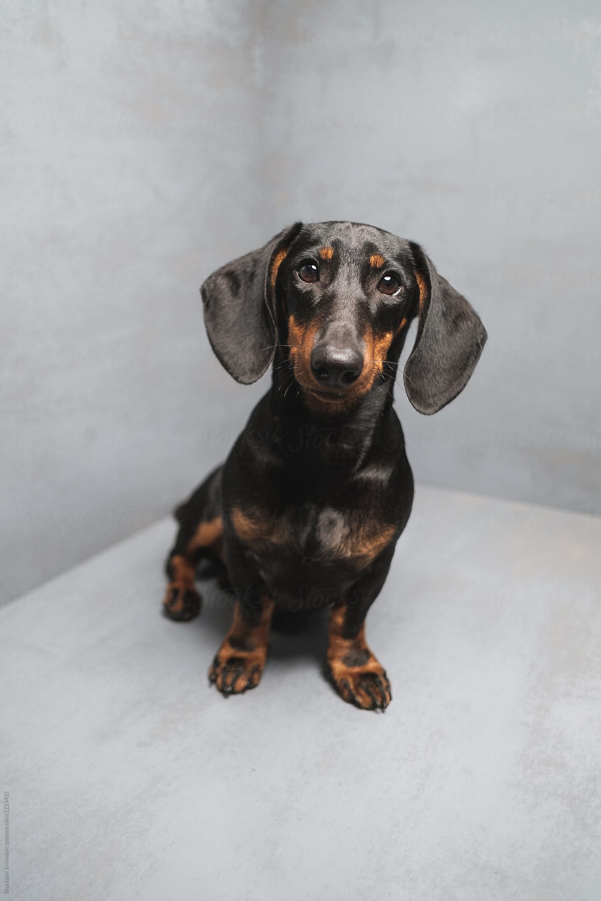 Dachshund Puppy Portrait On Grey Background Por Brkati Krokodil Dachshund Puppy Stocksy United