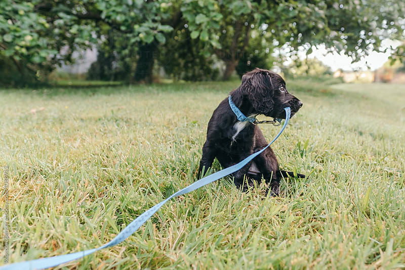 Adorable puppy holding her leash in her mouth by Rebecca Spencer for Stocksy United