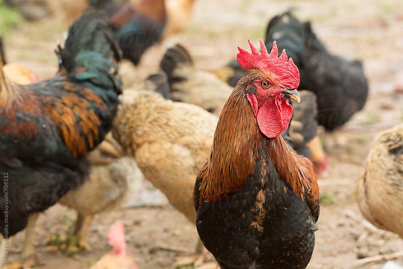 Free range chickens in field by MaaHoo Studio for Stocksy United