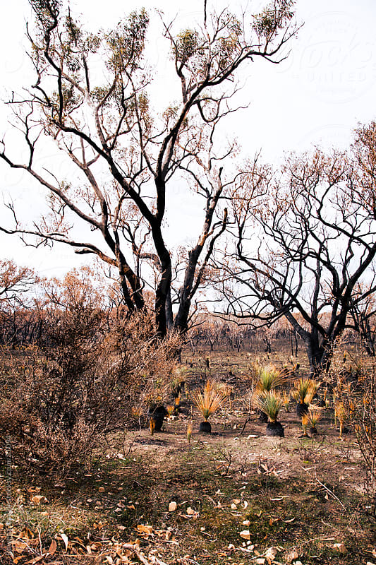 Regrowth and Regeneration after a Bushfire, Wild Fire by Rowena Naylor for Stocksy United