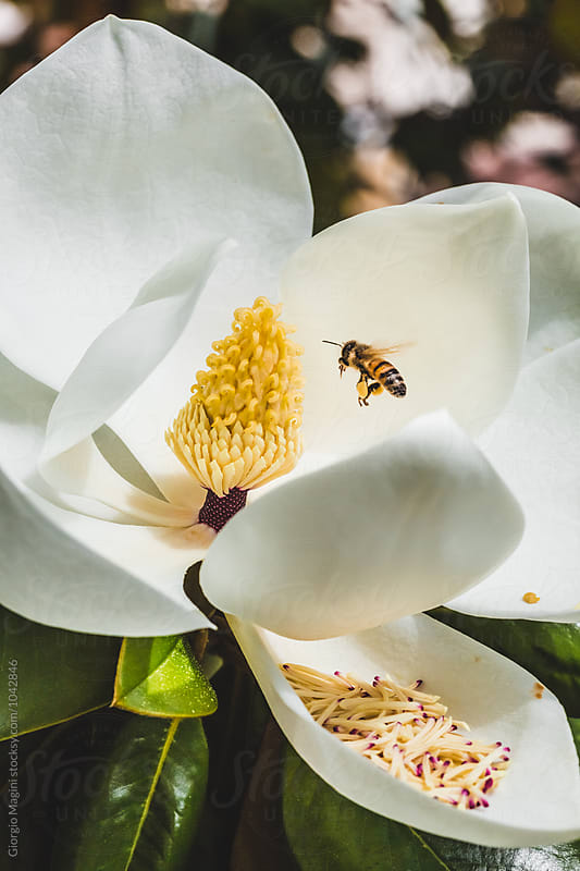 Bees Foraging on Magnolia Flowers by Giorgio Magini for Stocksy United