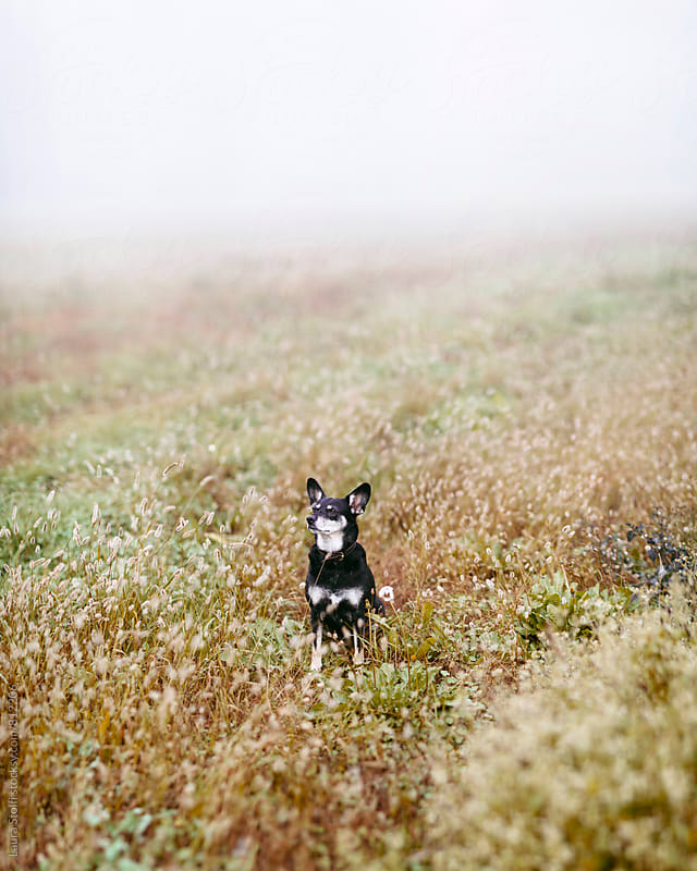 Early one morning while sitting amongst spikes and flowers a dog enjoys the fog in country fields by Laura Stolfi for Stocksy United