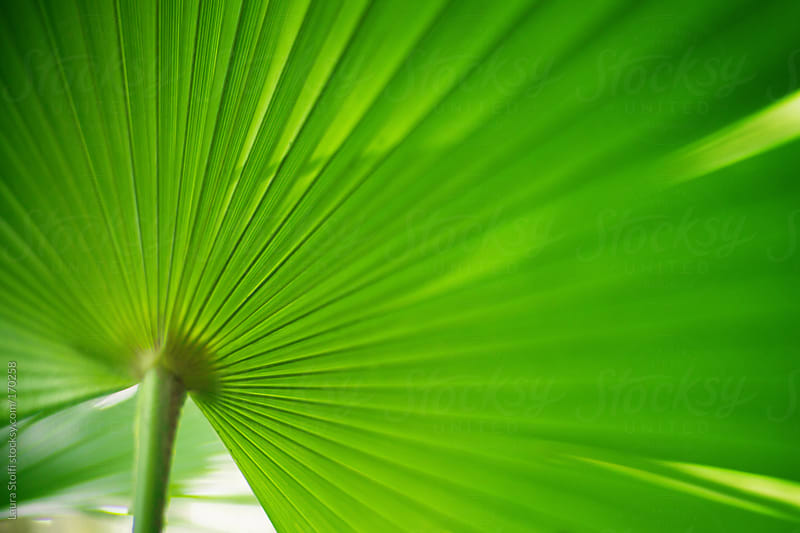 Close-up of green palm leaf by Laura Stolfi for Stocksy United