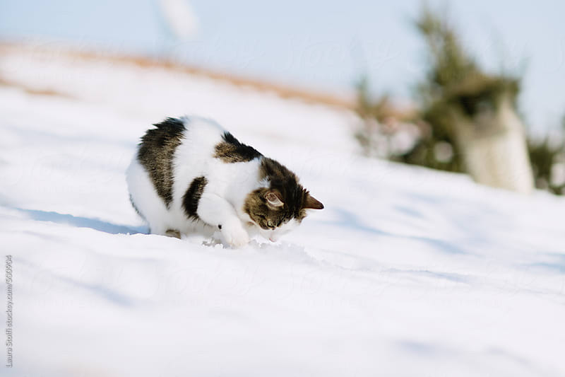 Siberian cat digs in the snow on top of roof in wintry landscape by Laura Stolfi for Stocksy United