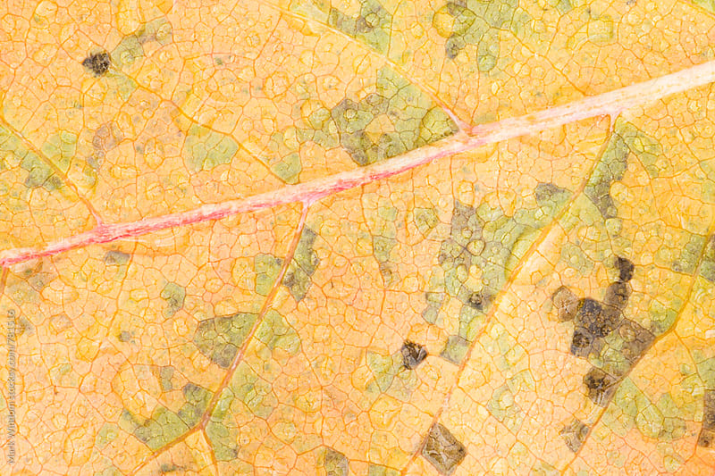 Raindrops on Black Gum leaf, closeup by Mark Windom for Stocksy United