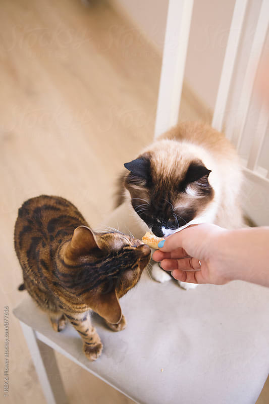 Hand feeding cats by T-REX & Flower for Stocksy United