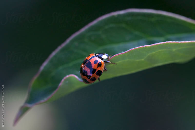 Ladybug on a Leaf by Brandon Alms for Stocksy United