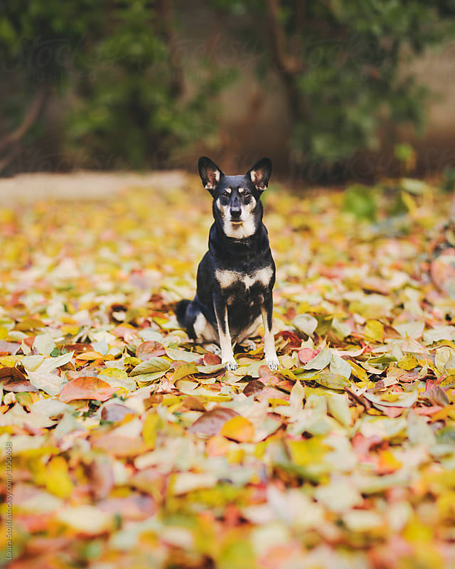 Dog sits on multitude of fallen leaves and looks straight at the camera by Laura Stolfi for Stocksy United