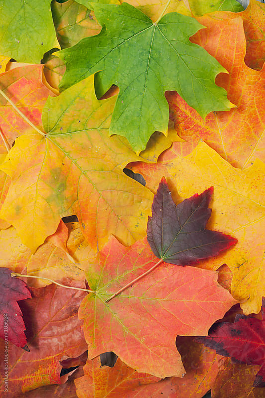 Leaves: Colorful Leaves Go From Green To Orange by Sean Locke for Stocksy United