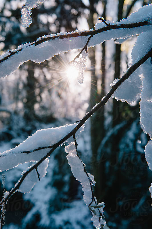 Frozen Branch In The Sun by Ronnie Comeau for Stocksy United