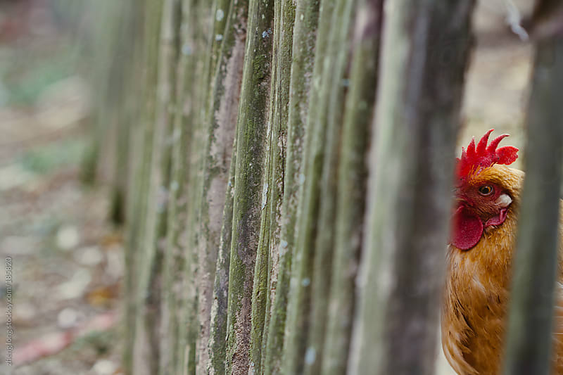 Chicken in the fence by zheng long for Stocksy United