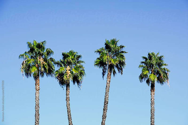 Four California Palms by Shannon Aston for Stocksy United