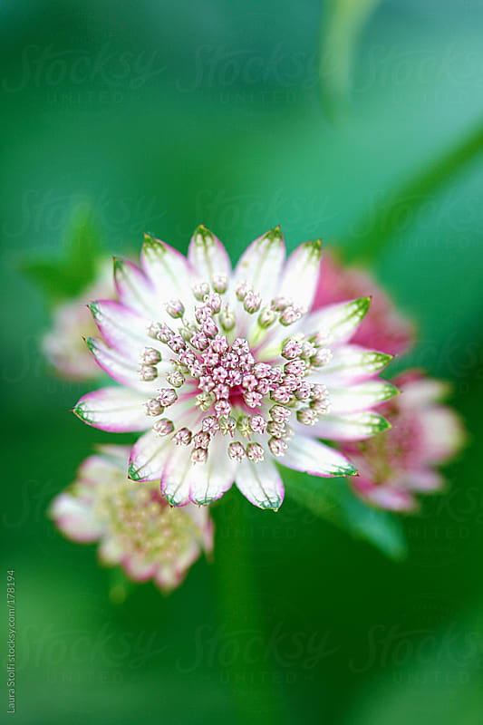 Overhead sight of pink Masterwort flowers in bloom by Laura Stolfi for Stocksy United