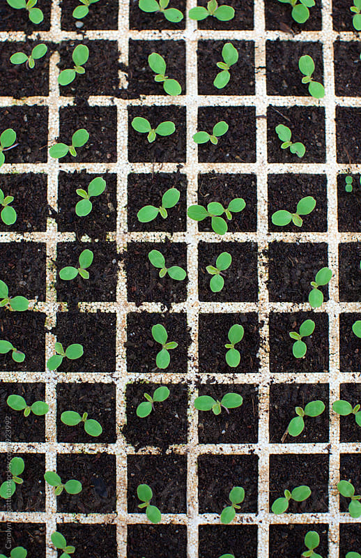 New growth of seedlings in small containers by Carolyn Lagattuta for Stocksy United