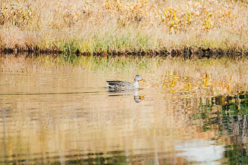 Solitary Duck Swimming Through Golden Pond by Luke Mattson for Stocksy United
