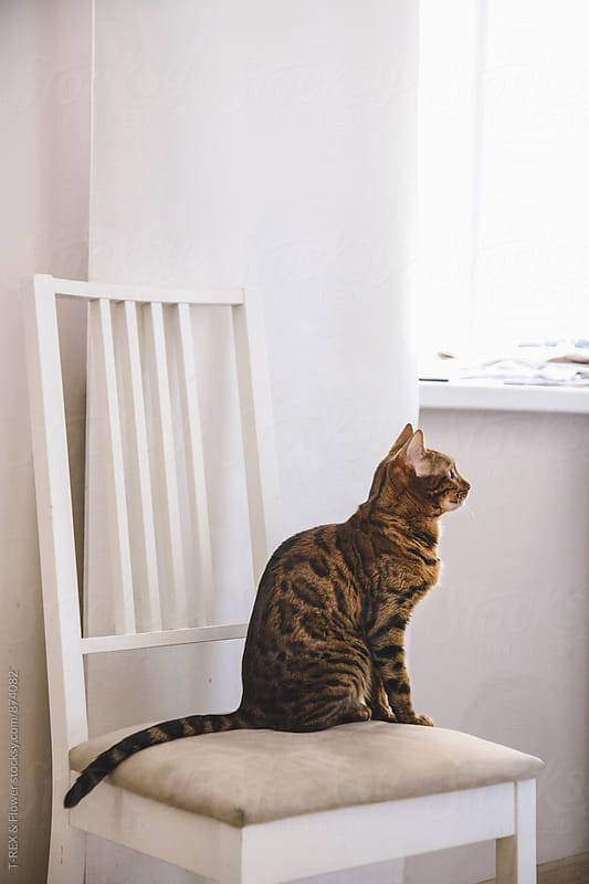 Cat sitting on chair and looking away by Danil Nevsky for Stocksy United