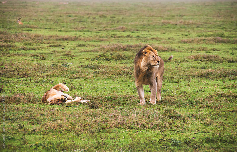 Male and female lion about to mate by Jaydene Chapman for Stocksy United